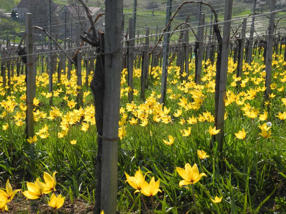 Da sind sie, die vielbesungenen Weinbergtulpen (Tulipa sylvestris)