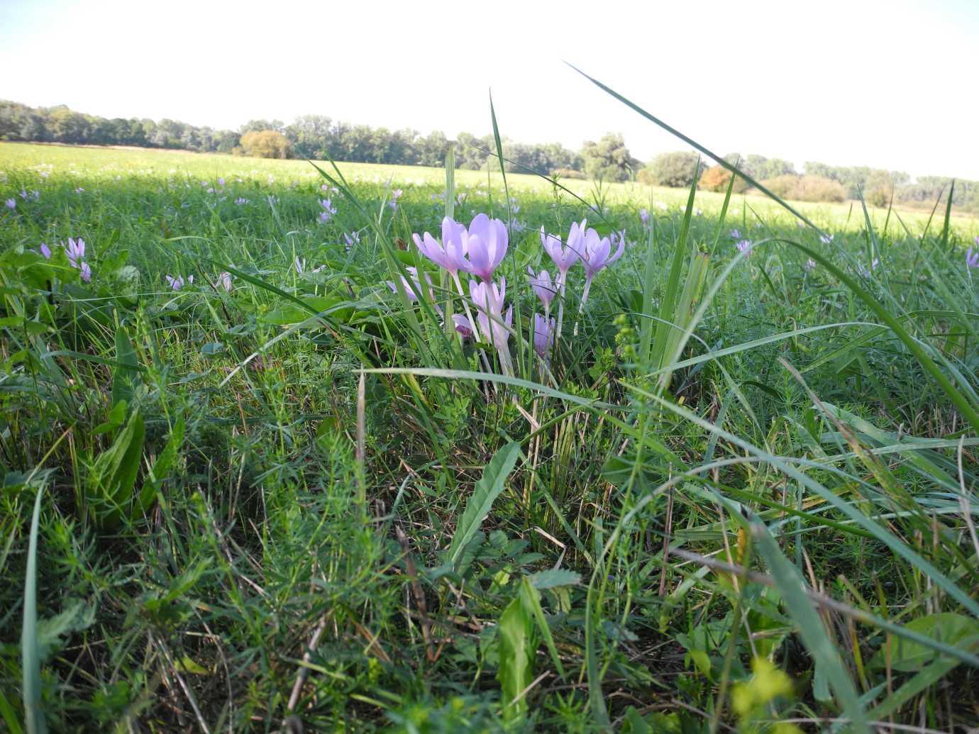 Late bloomers: Herbstzeitlose in der Rheinaue bei Munchhausen