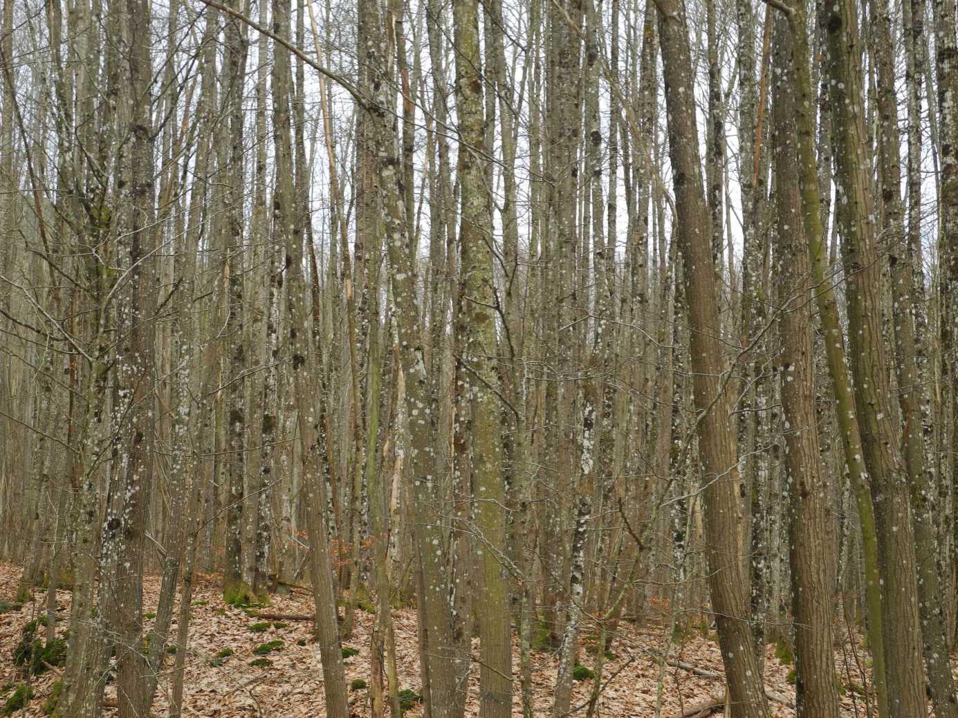 Hier sieht man vor lauter Bäumen den Wald nicht bei La Petite-Pierre (die weißen Flecken sind